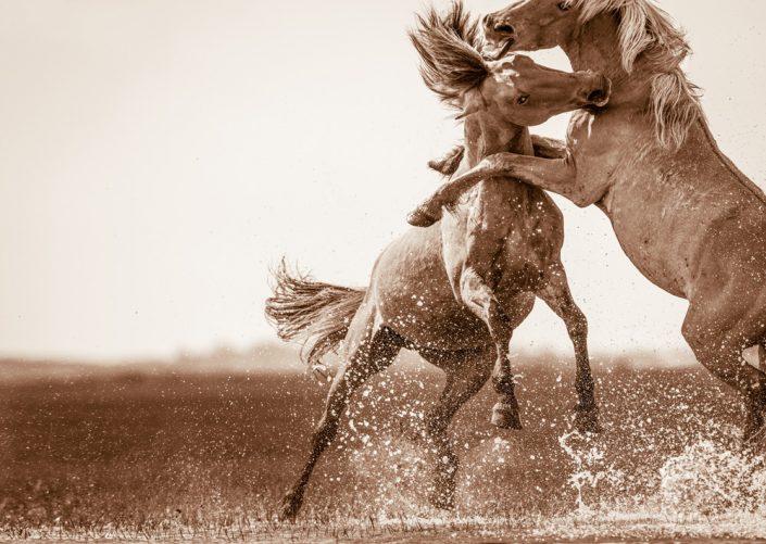 Lisa Cueman's Battling, Sepia Fine Art Horse Photography