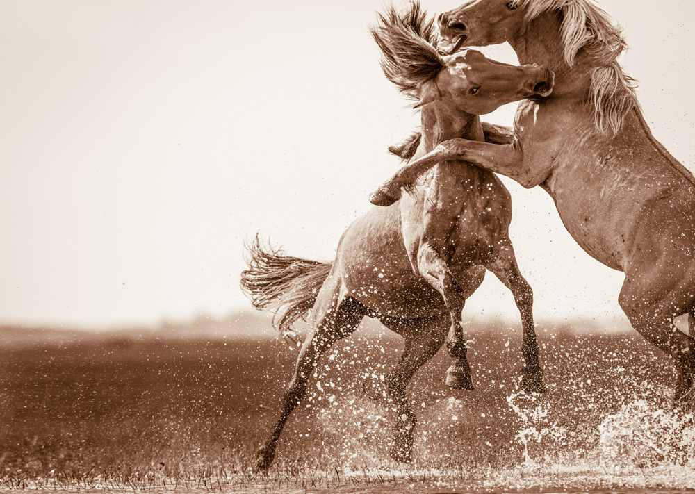 Lisa Cueman's Battling, Sepia Fine Art Horse Photography