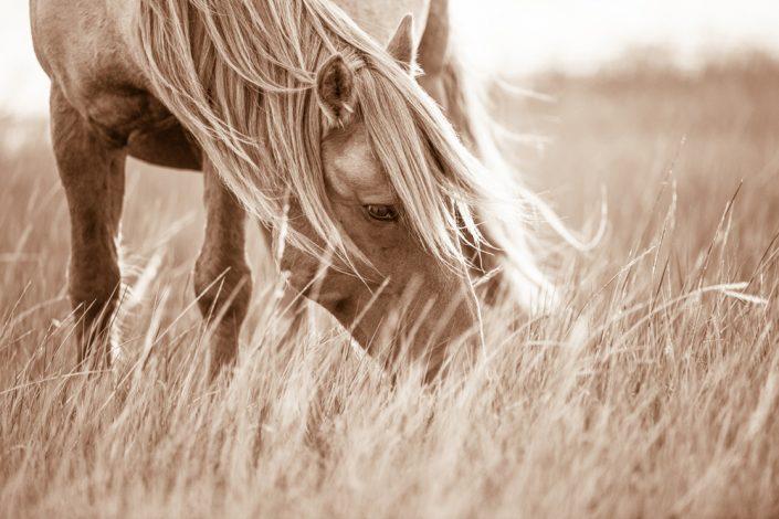 Lisa Cueman's Evening Grazer, Sepia Fine Art Horse Photography