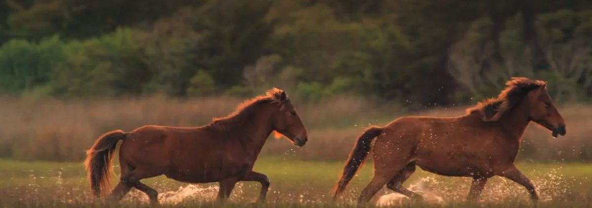 Outer Banks North Carolina Horses