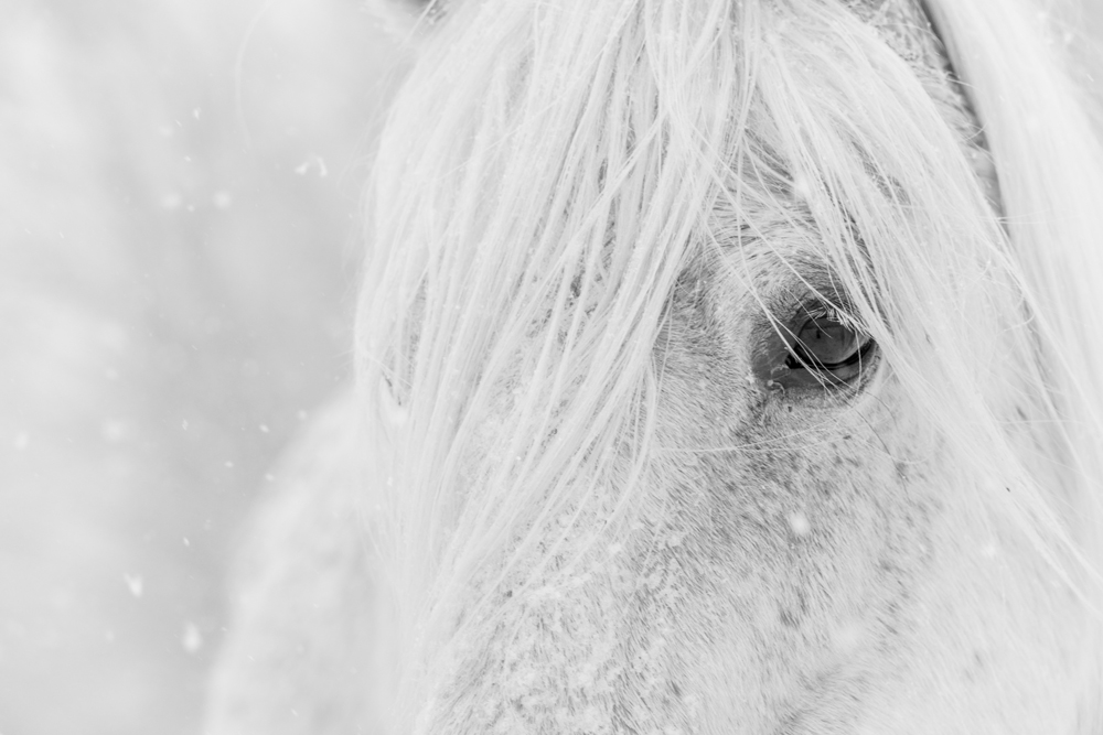 Lisa Cueman's Snow Glance, Black and White Fine Art Horse Photography