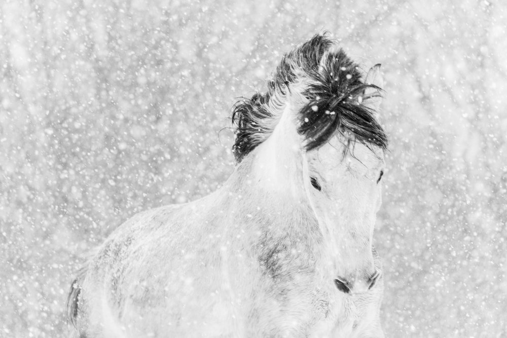 Lisa Cueman's Winter Frolick, Black and White Fine Art Horse Photography