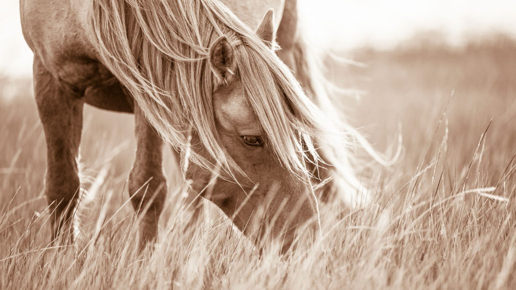 Lisa Cueman's Evening Grazer, Sepia Fine Art Horse Photography