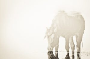 Lisa Cueman's Reflections, Sepia Fine Art Horse Photography